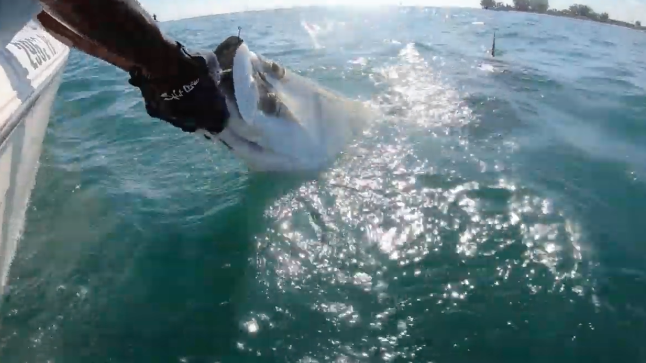 Massive hammerhead caught on video stealing tarpon from