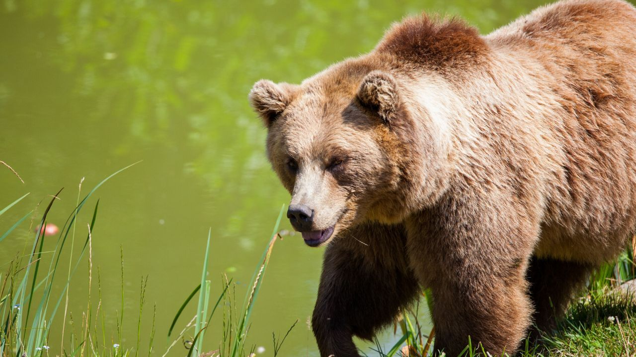 Two grizzly bears relocated after calf killed in the Blackfoot Valley