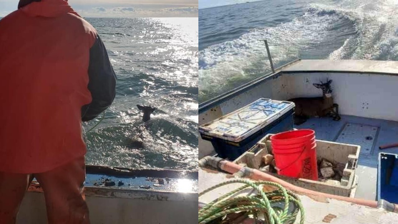Fishermen rescue deer found floating 5 miles off coast of Maine