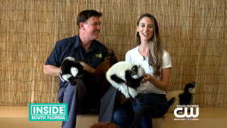 Hang out with Lemurs at Jungle Island
