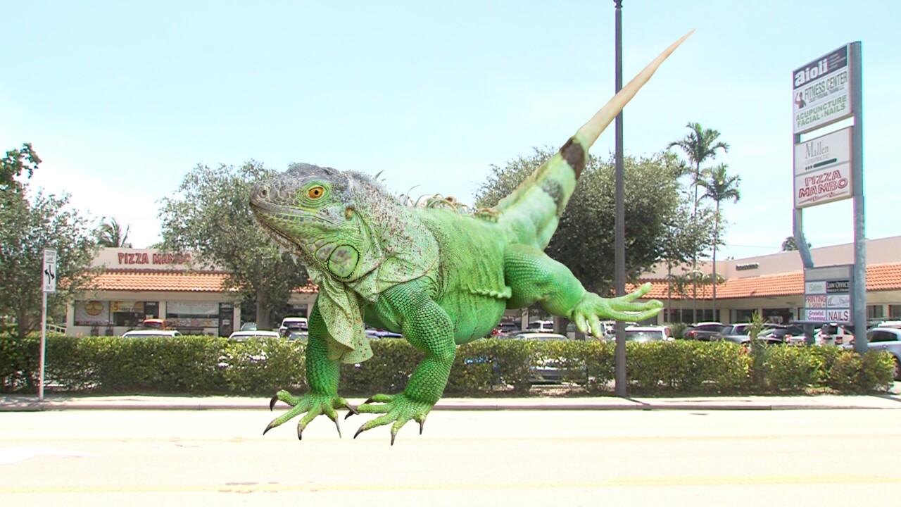 Iguana at Pizza Mambo