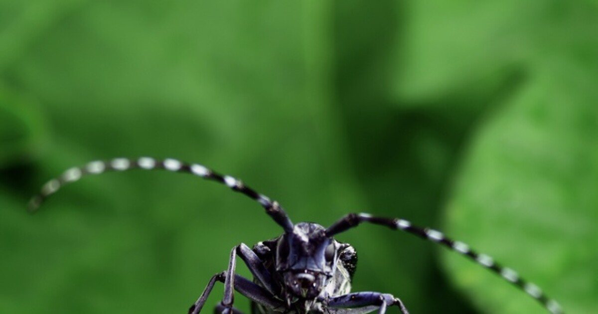 Asian longhorned beetle could kill millions of trees in Clermont County