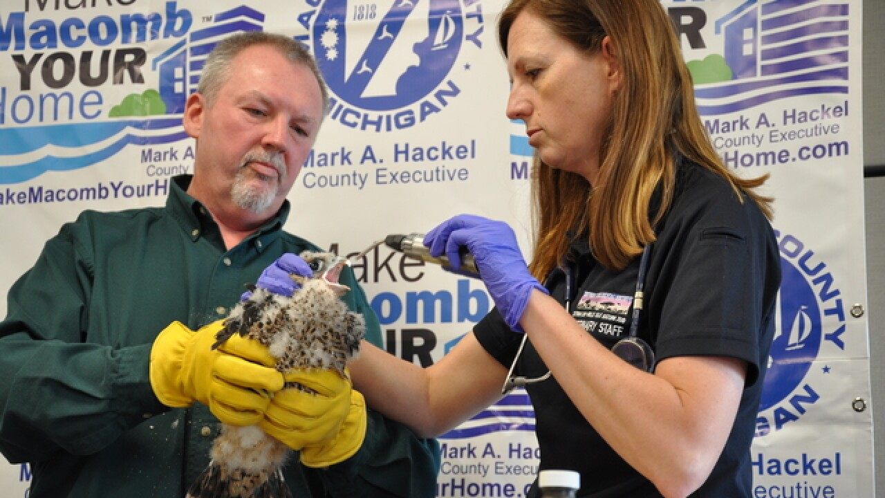 Peregrine Falcon hatched in Macomb County