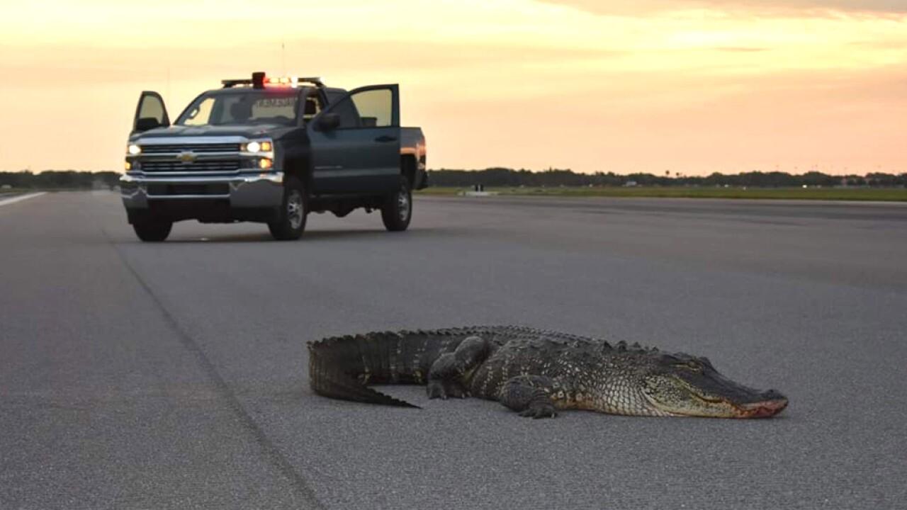 wptv-alligator-macdill.jpg