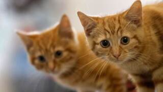 Milly, a 13-week-old kitten waits with her brother Charlie (L). (Photo by Christopher Furlong/Getty Images)
