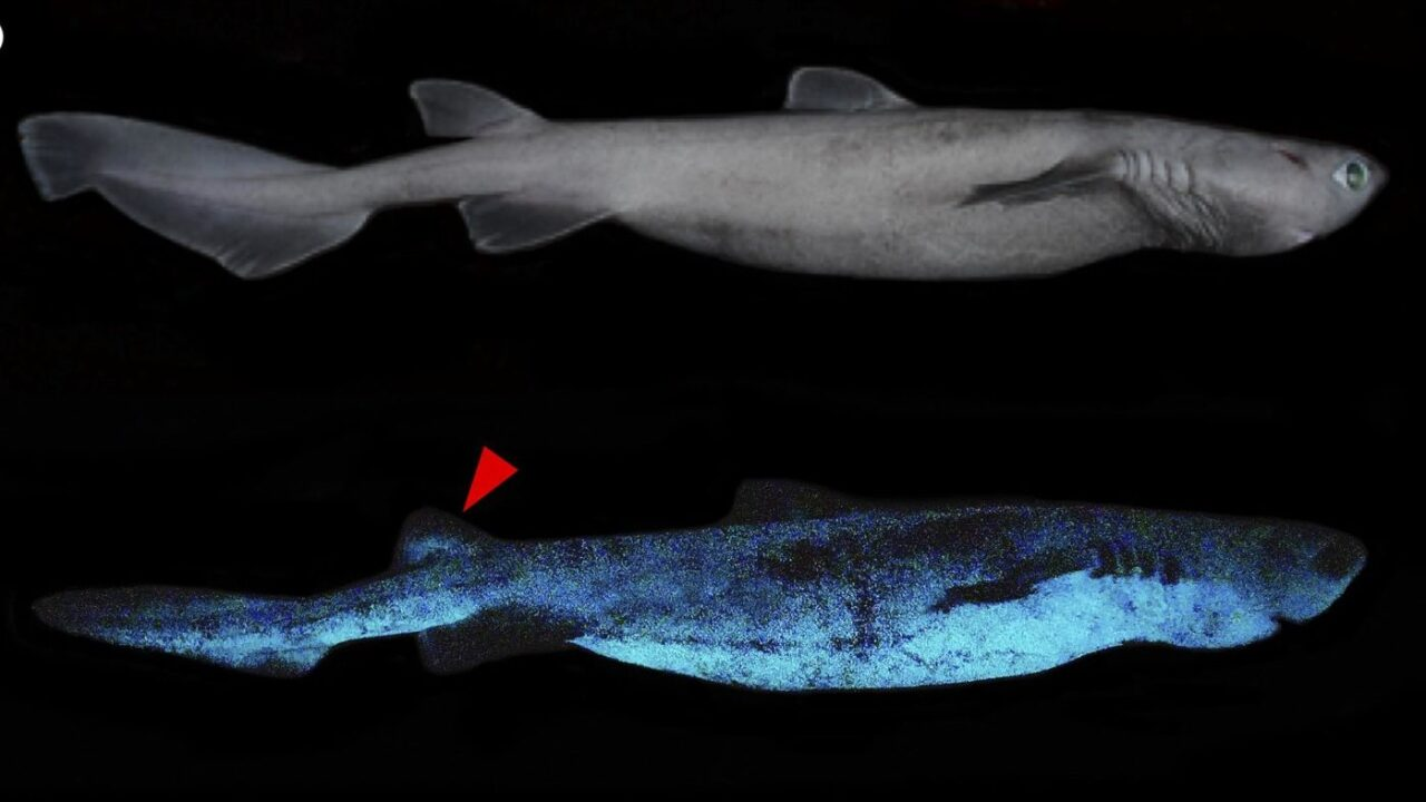 Certain Shark Species Can Glow In The Dark