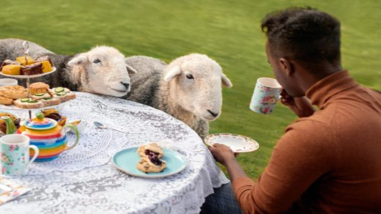 You Can Have Afternoon Tea With Cute Sheep In Scotland