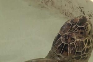 Radiology Associates partners with Texas State Aquarium to help injured animals