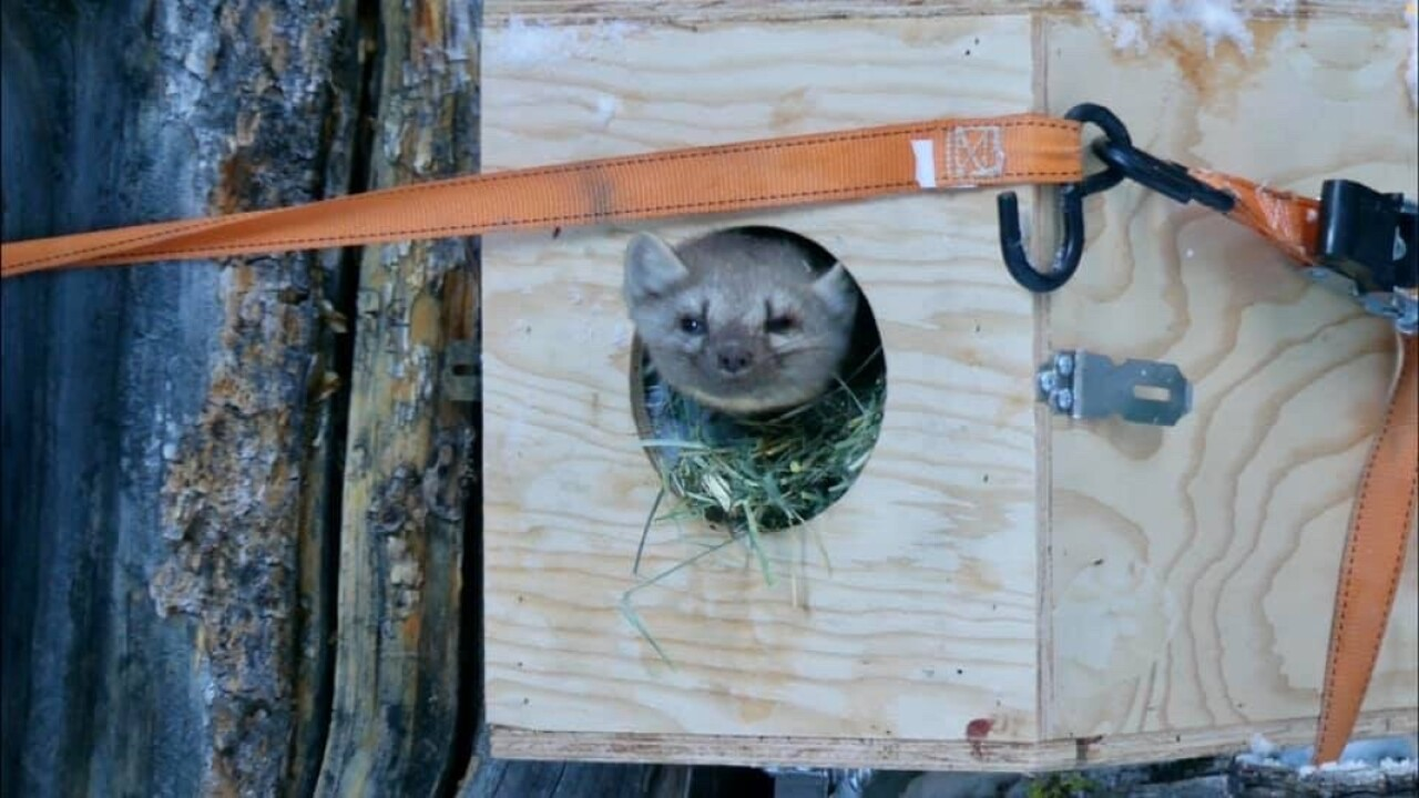 FWP launches project to restore marten to the Little Belt Mountains