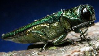 Experts confirm discovery of emerald ash borer in Broomfield, outside of federal quarantine zone