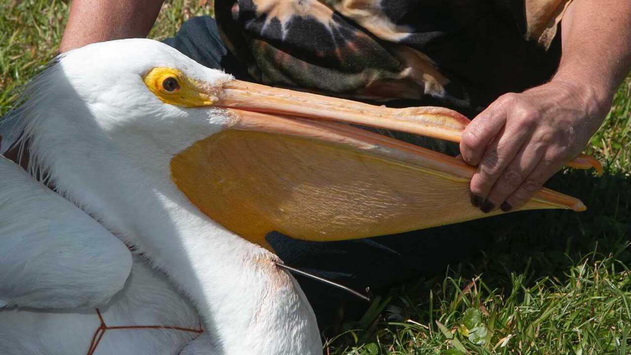 american white pelican2.jpg