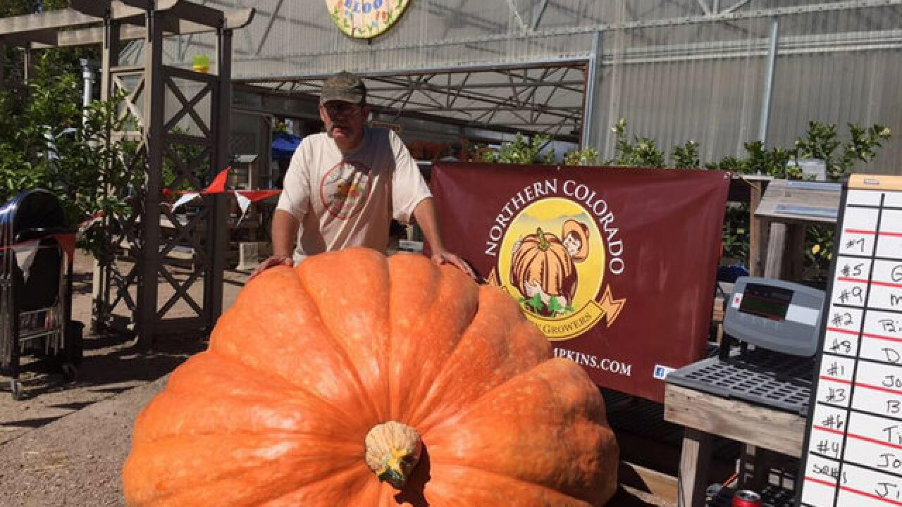 Giant Colorado pumpkin weighs in at 1,410 pounds at Fort Collins Nursery contest