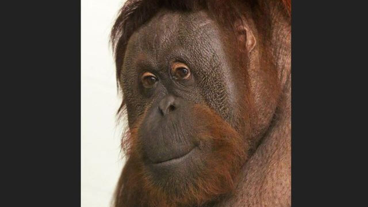 Orangutan at Indianapolis Zoo dies from respiratory disease