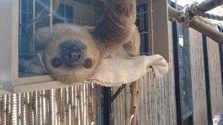 Fernando Sloth Phoenix Zoo