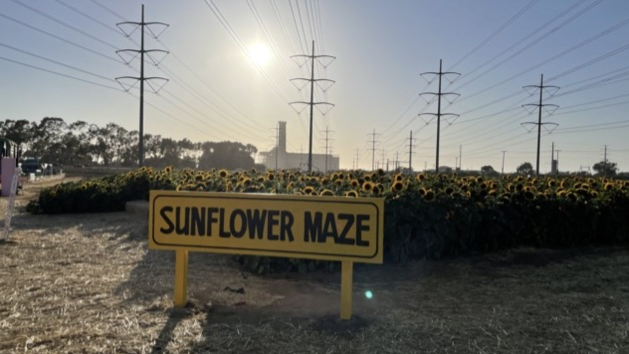 Sunflower Maze Carlsbad