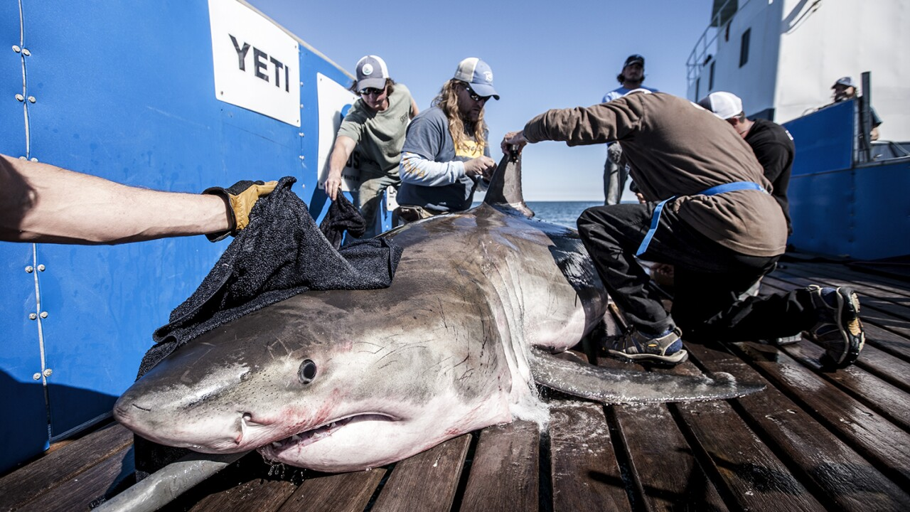 Scientists work to learn more about the Atlantic Great WhiteShark