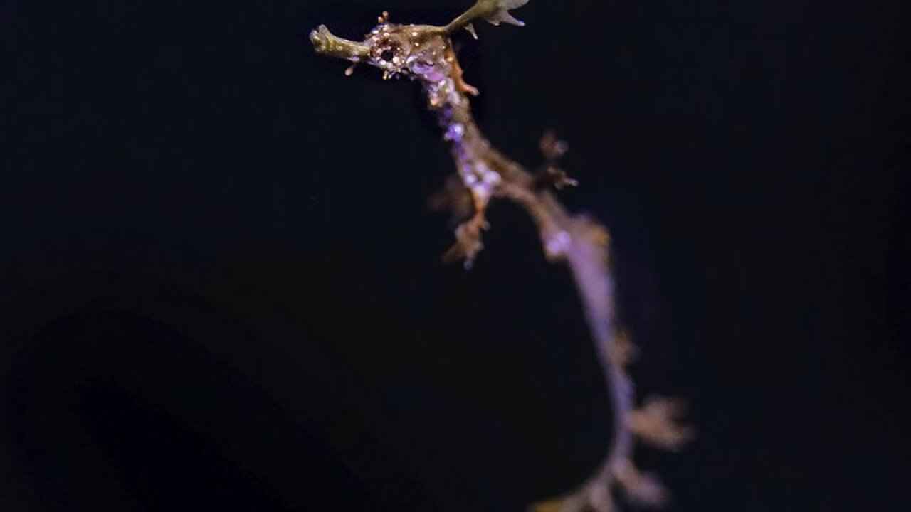 San Diego aquarium breeds rare weedy sea dragon in captivity
