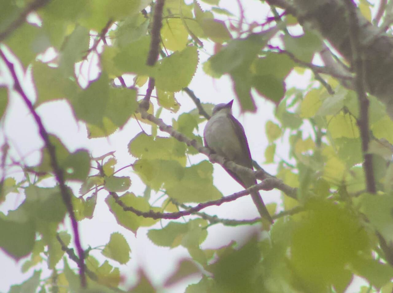 Pictured in the cottonwood is Scissor-tailed Flycatcher.