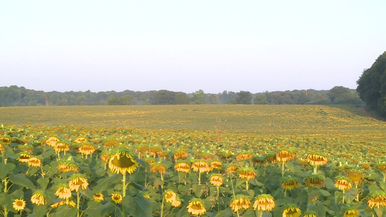 Goochland festival features 50 acres ofsunflowers