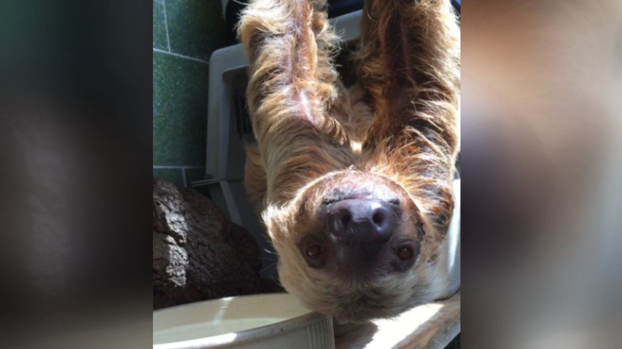 Smithsonian Zoo sloth, Ms. Chips, dies at 46