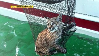 Bobcat rescued after swimming far from shore in Flathead Lake