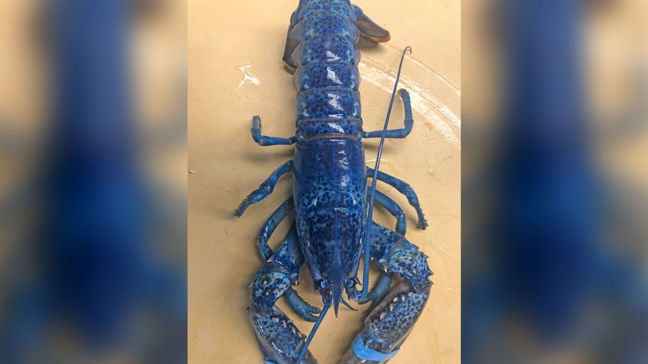 Seafood restaurant gets surprise 1-in-2 million blue lobster in its shipment