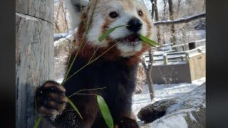 ZooMontana announces death of red panda Daisy