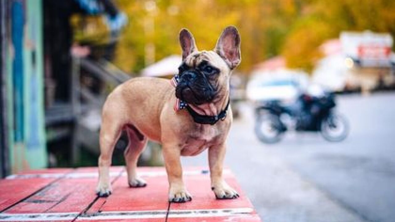 Raise the woof for the new mayor of Rabbit Hash, Kentucky: Wilbur, a french bulldog