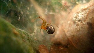 Hurricanes lead to more aggressive spiders, study says