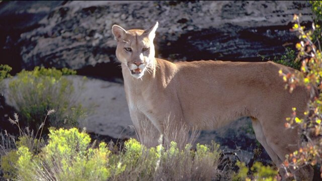 Several cougar sightings in Cache County; DWR cautions hikers