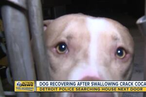 Dog recovering after swallowing crack cocaine