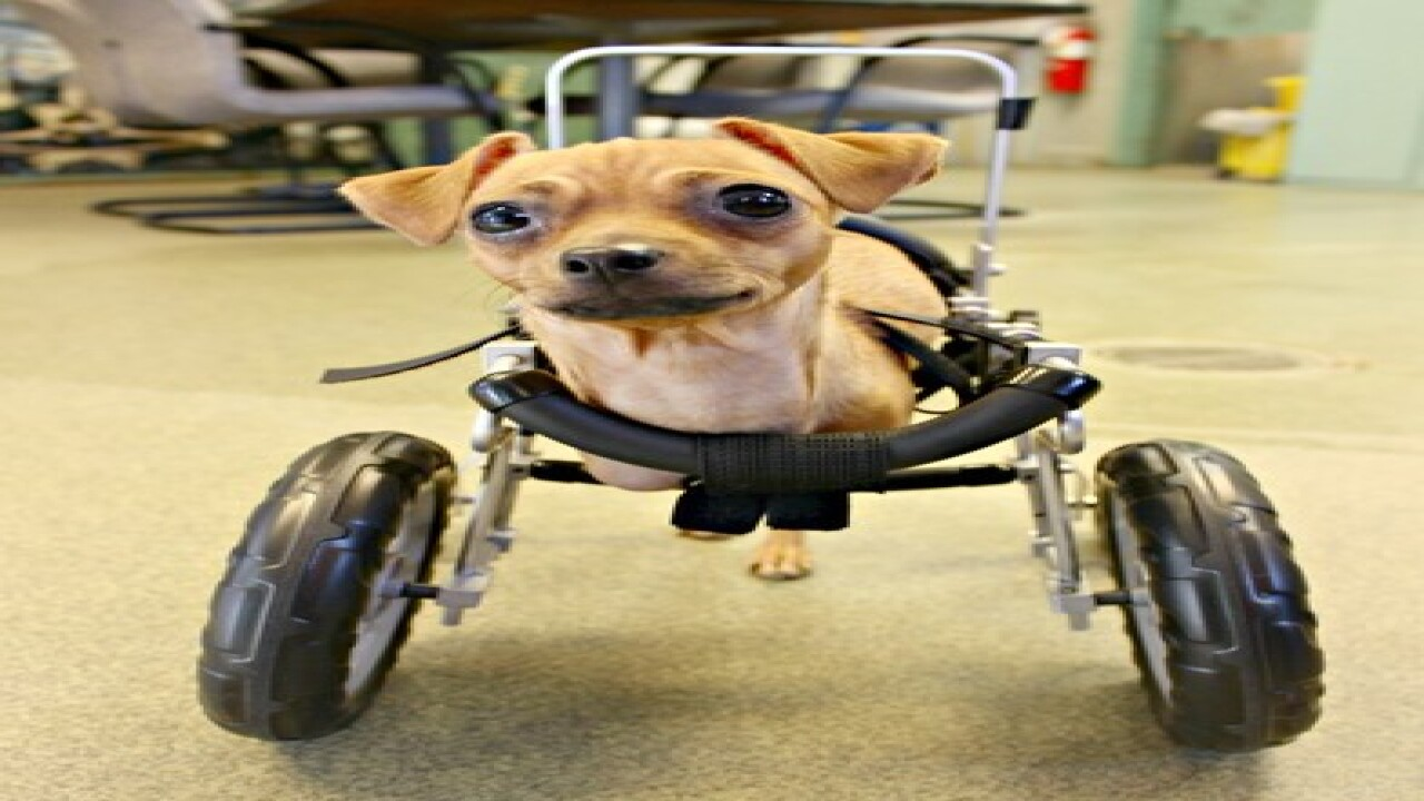 Dog born with no front legs gets wheelchair