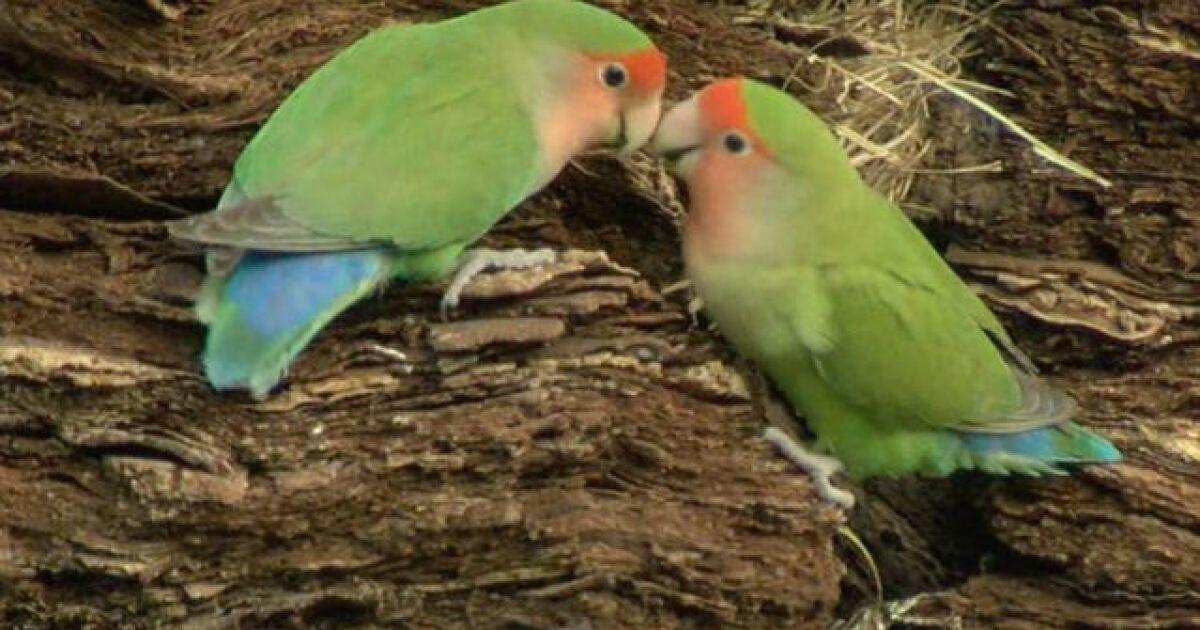 Wild parrots can be spotted in Phoenix neighborhoods