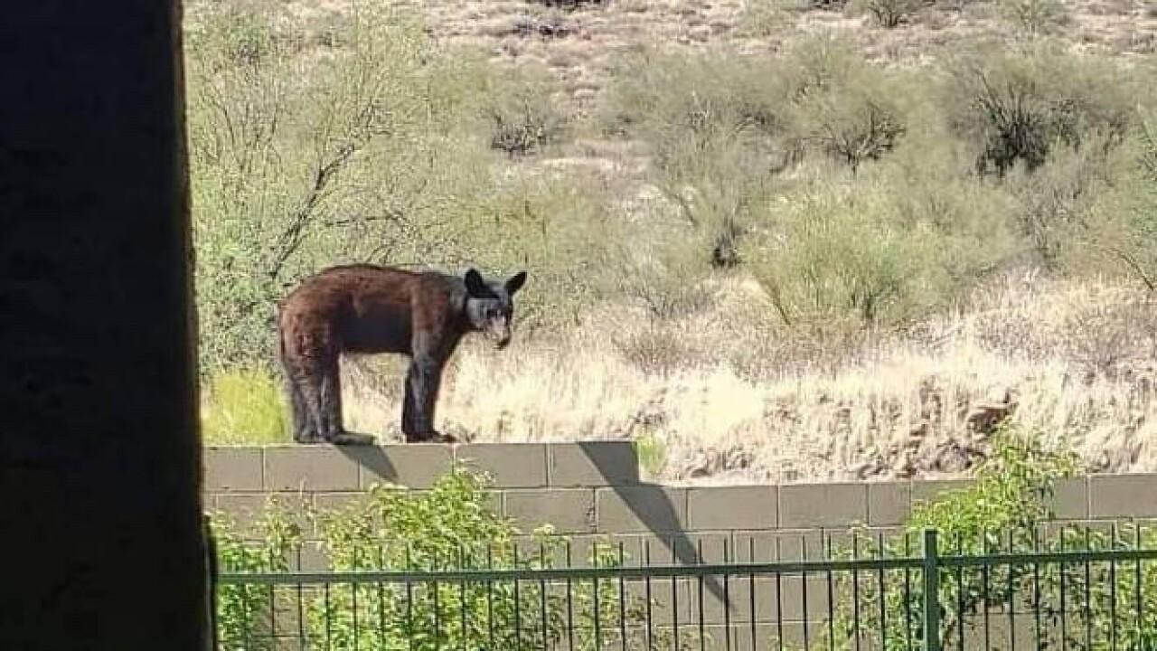 Anthem bear