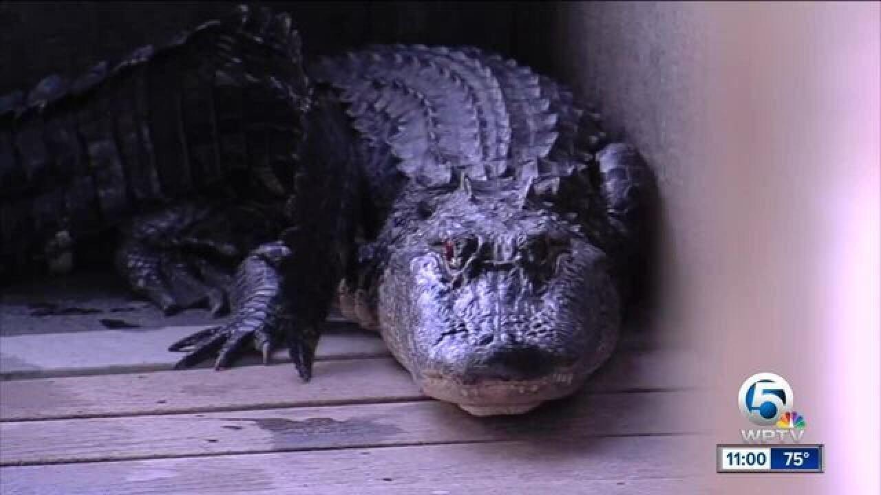 Alligator mating season begins