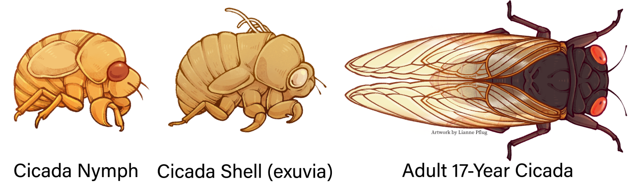 Above_ground_Cicada_Lifecycle.png