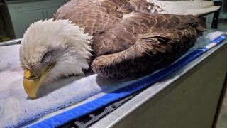 Bald eagles are dying of lead poisoning in North Carolina, and experts say hunters are to blame