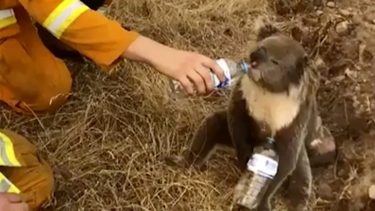 Image result for koalas australia