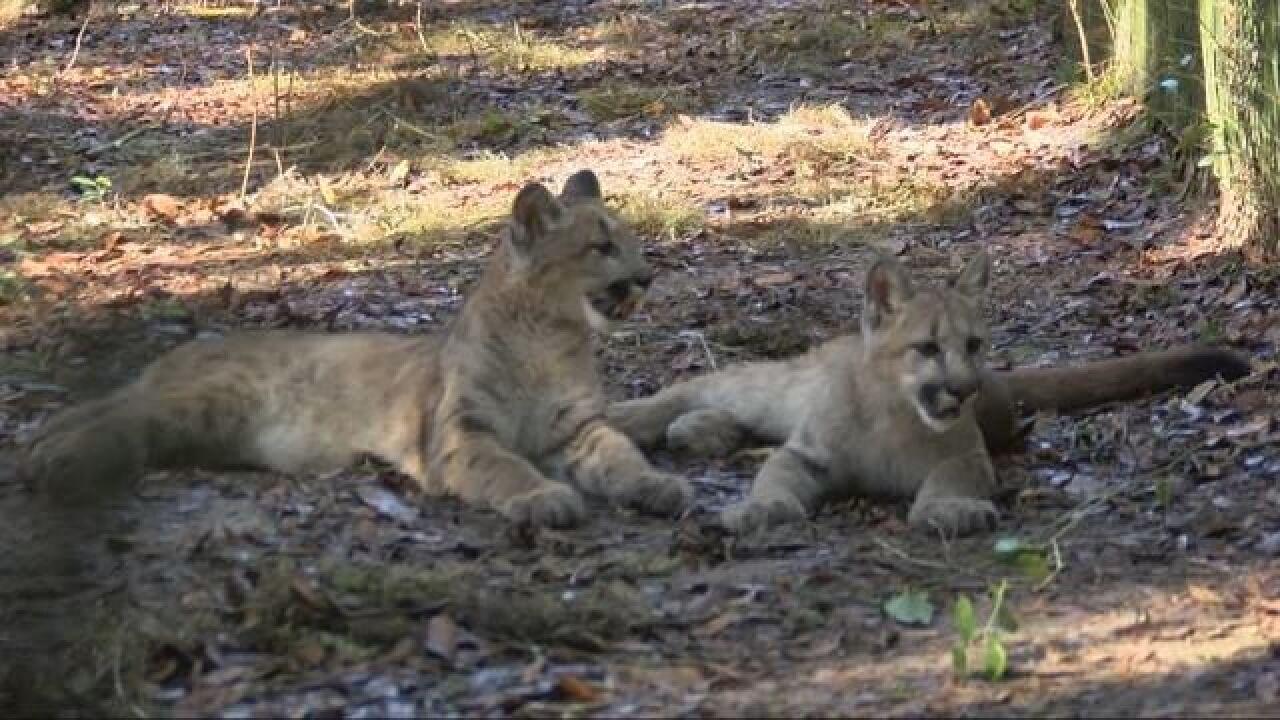 Two Cougars Find New Home at Tallahassee Museum