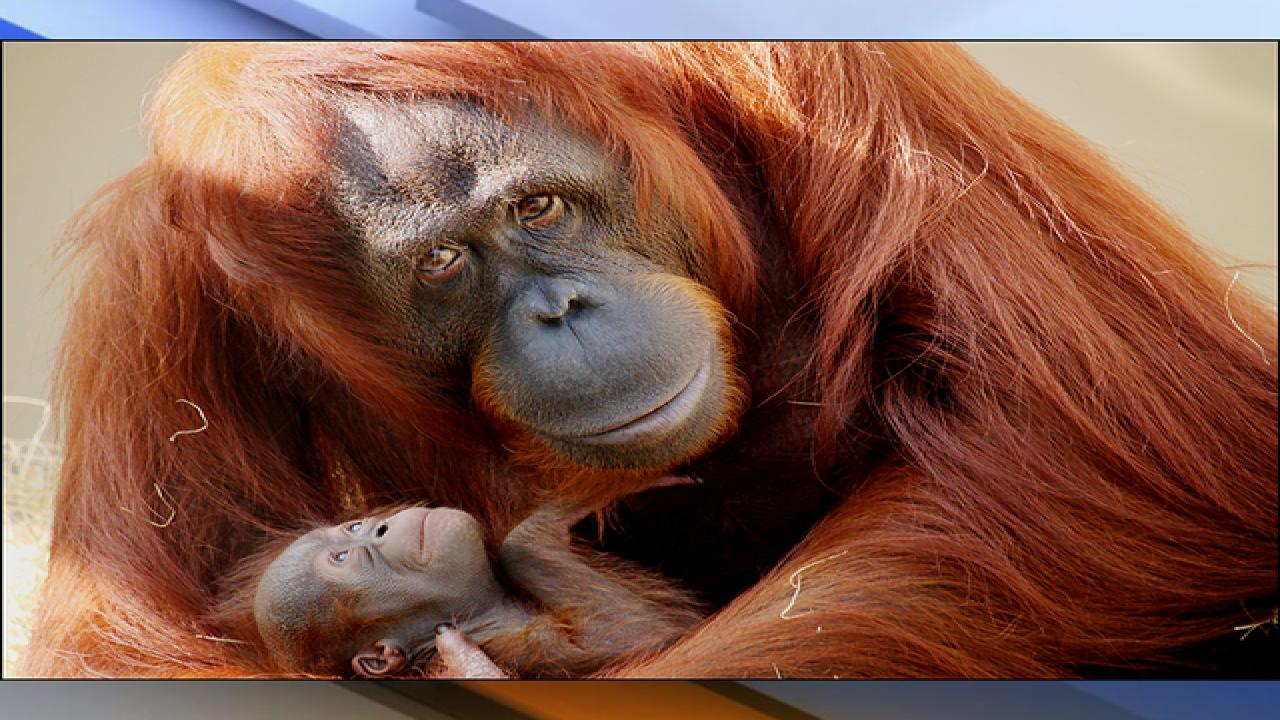 Busch Gardens welcomes 3 lb. baby orangutan