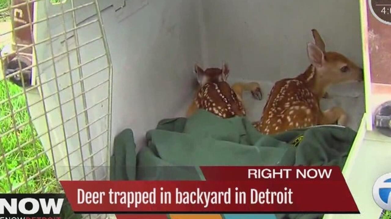 Deer rescue mission in Detroit backyard