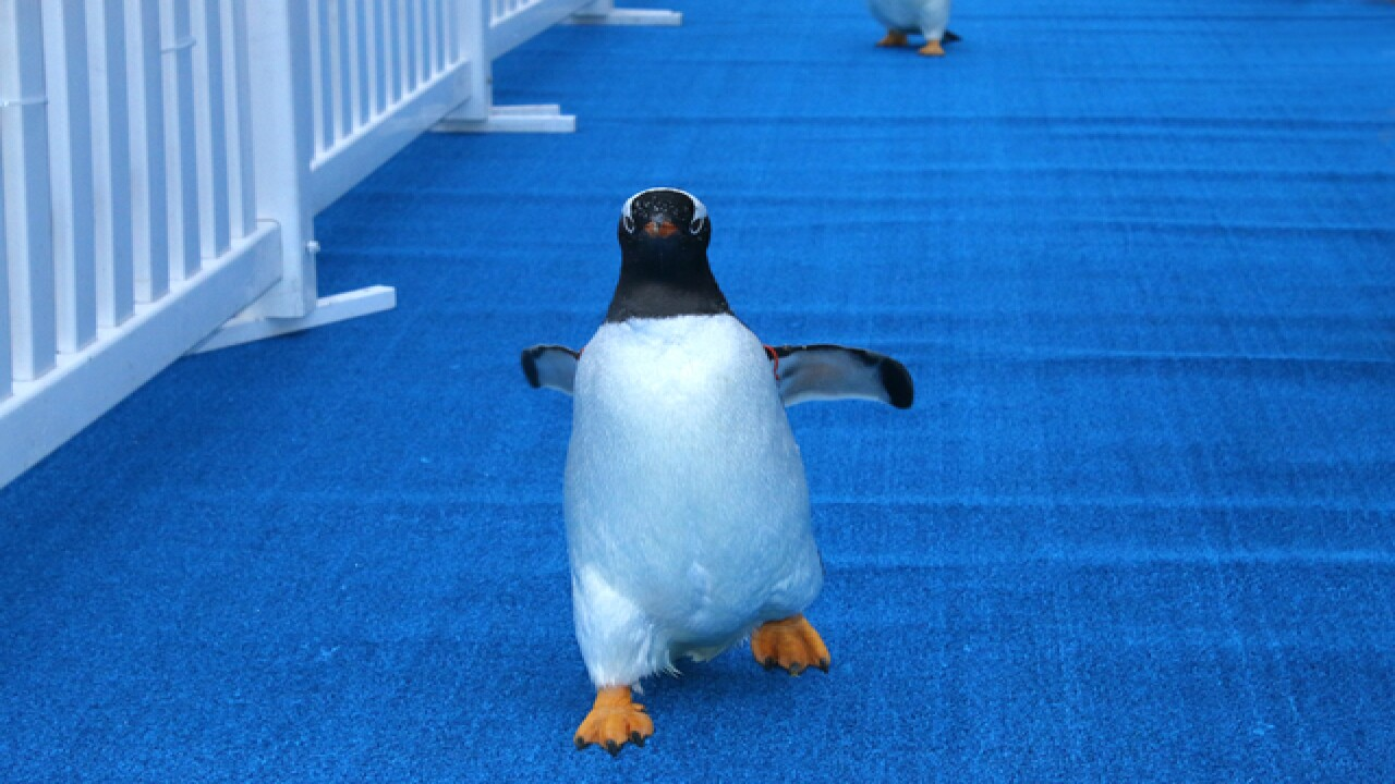 VIDEO: Penguins march to new home at Detroit Zoo