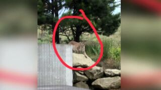 Mountain lion spotted near MSU-Billings campus