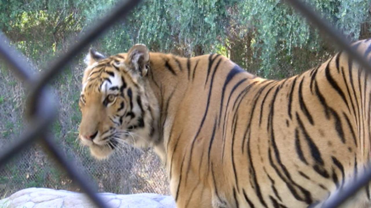 Meet Orion: Wildlife World Zoo's Bengal tiger