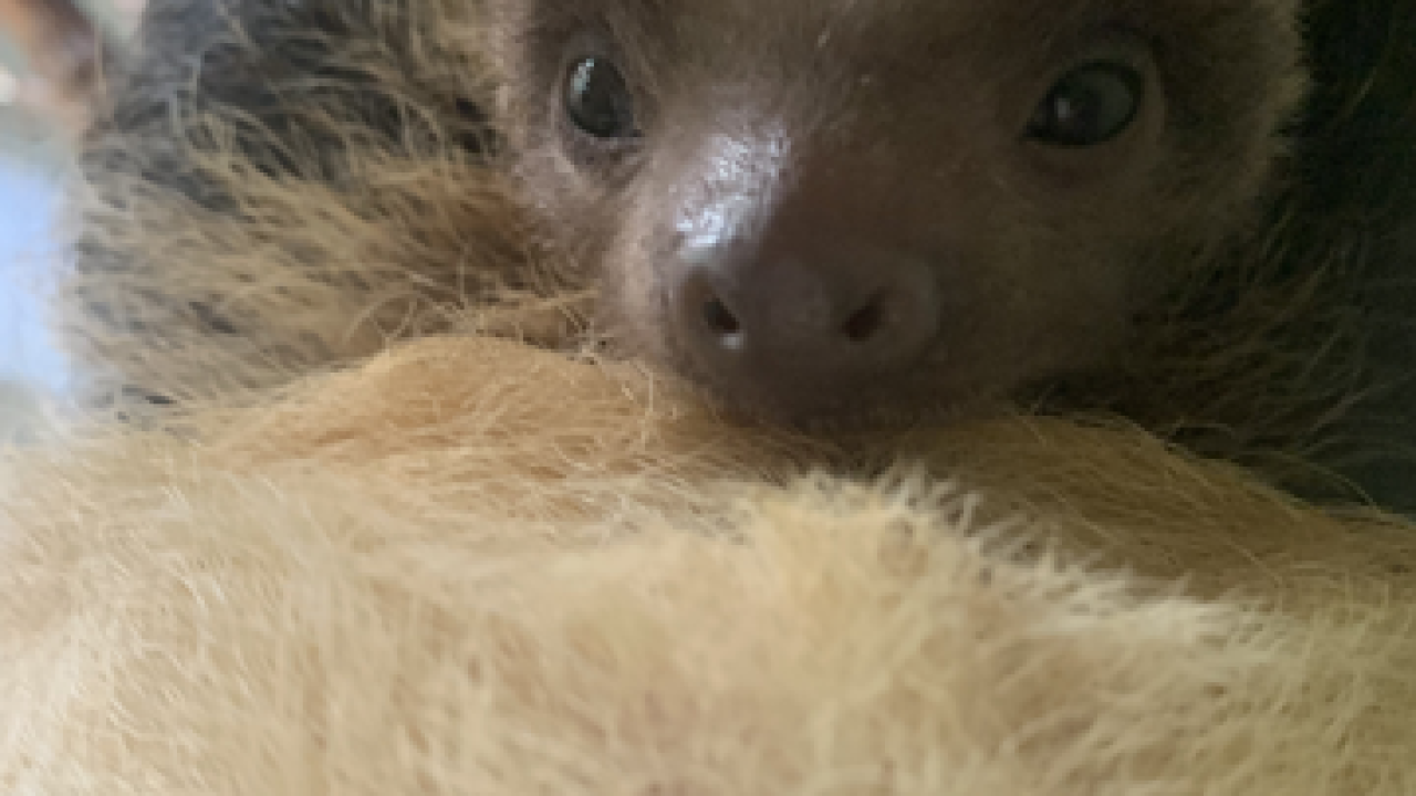 CHEYENNE MOUNTAIN ZOO BABY SLOTH.png