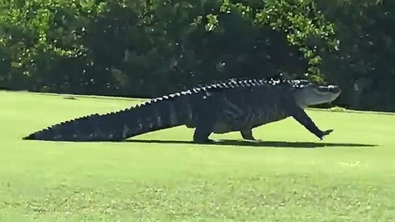 'Monster' gator spotted on MacDill AFB