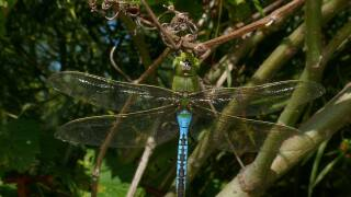 Dragonfly at Lake Metroparks.