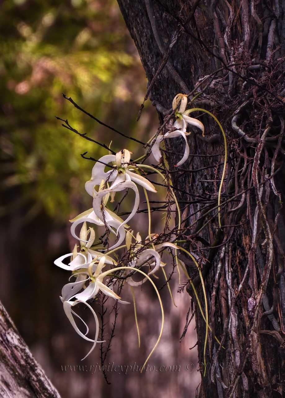Super Ghost Orchid in bloom.jpg