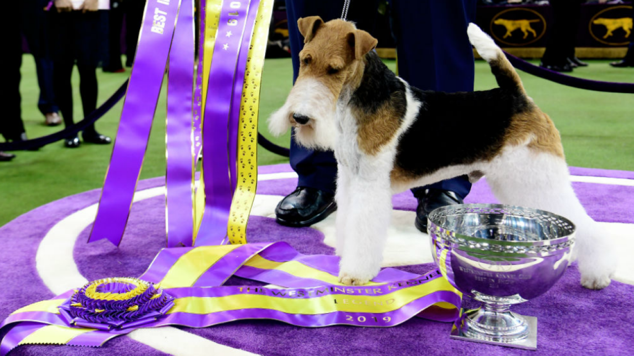 King the Wire Fox Terrier is Best in Show at the 143rd Westminster Kennel Club