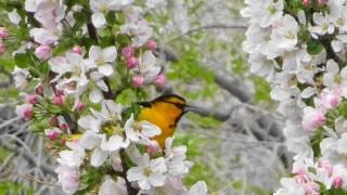 Linda Michel Bullock's Orioles bird